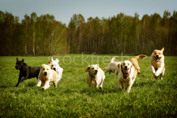 Nagyobb csoport kutyák arany fut nyár zöld Stock fotó © goroshnikova