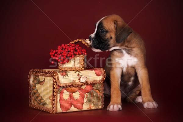 Cute puppy boxer sitting  and sniffing the autumn berries Stock photo © goroshnikova