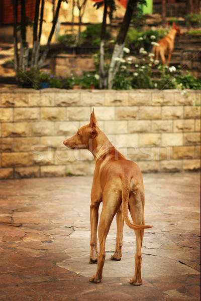 Pharaoh hound in the yard Stock photo © goroshnikova