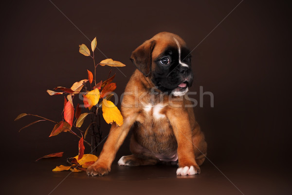 Cute red puppy boxer sitting on a brown background Stock photo © goroshnikova