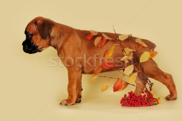 Rosso cucciolo boxer giallo foglie Foto d'archivio © goroshnikova