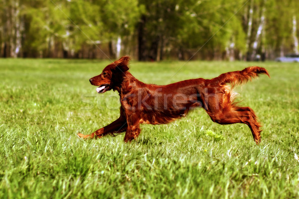 happy dog Irish setter jumping Stock photo © goroshnikova