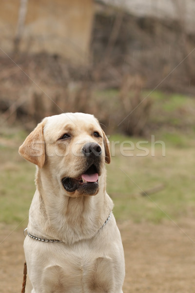 beautiful purebred fawn dog Labrador Stock photo © goroshnikova