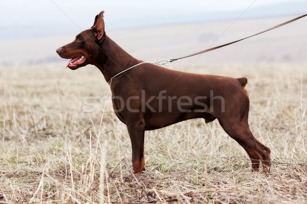 собака коричневый мужчины доберман шоу положение Сток-фото © goroshnikova