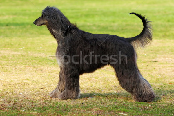dog breed Afghan Hound stands sideways Stock photo © goroshnikova
