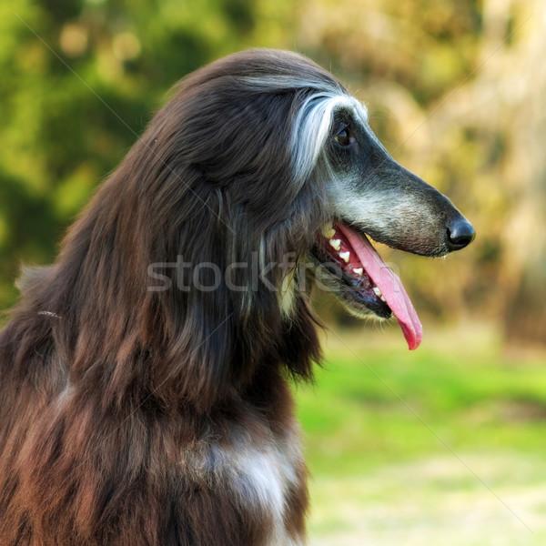 собака гончая красивой портрет профиль Сток-фото © goroshnikova