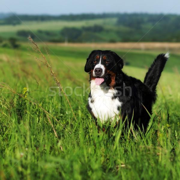 Beautiful Bernese mountain dog runs Stock photo © goroshnikova