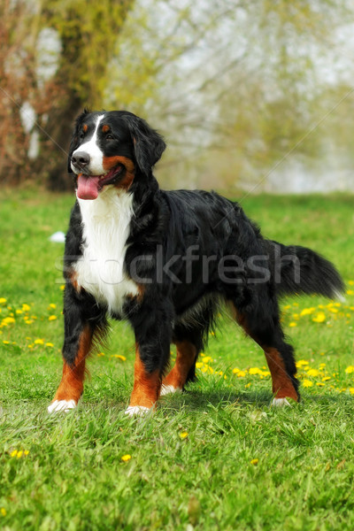 Stock photo: happy family Bernese mountain dog on summer nature walks