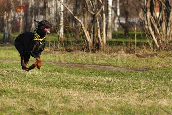 black dog Doberman Pinscher running Stock photo © goroshnikova