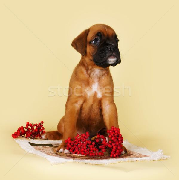 cute boxer puppy sitting  next to autumn berries Stock photo © goroshnikova