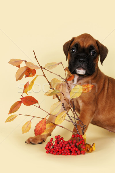 A scared puppy boxer Stock photo © goroshnikova