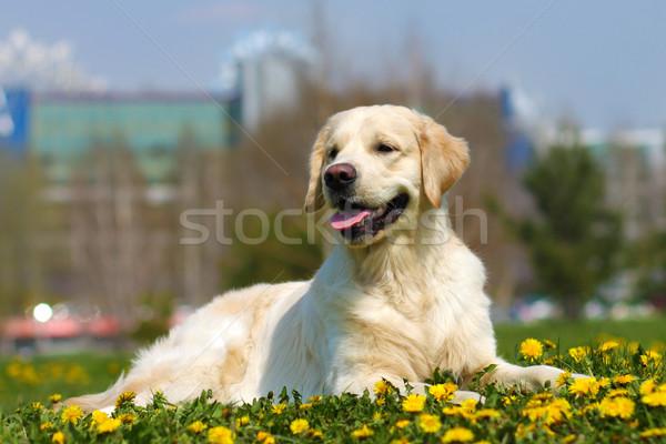Mooie hondenras golden retriever zomer gras paardebloemen Stockfoto © goroshnikova