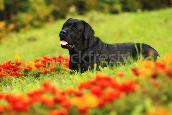 Fekete kutya labrador retriever virág fajtiszta mezők Stock fotó © goroshnikova