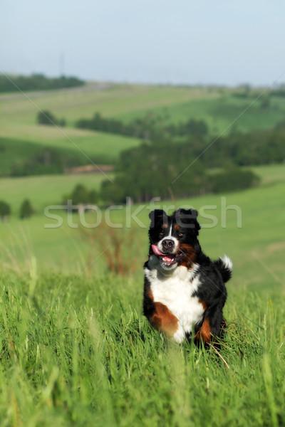 Hermosa boyero de berna diversión verano aire libre campo Foto stock © goroshnikova