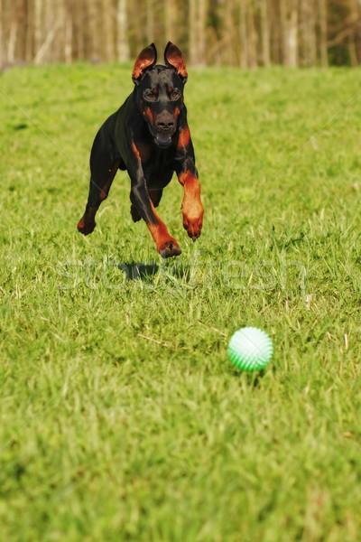 Doberman perro jugando pelota ejecutando rápido Foto stock © goroshnikova