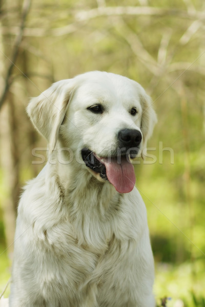 Beautiful purebred dog Golden Retriever Stock photo © goroshnikova