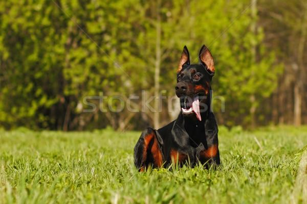 красивой собака доберман трава лет работу Сток-фото © goroshnikova