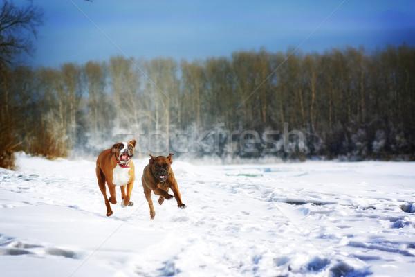 Twee honden ras bokser leuk lopen Stockfoto © goroshnikova