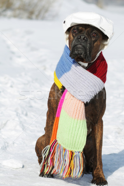 intelligent dog breed boxer is sitting in hat and scarf in the s Stock photo © goroshnikova