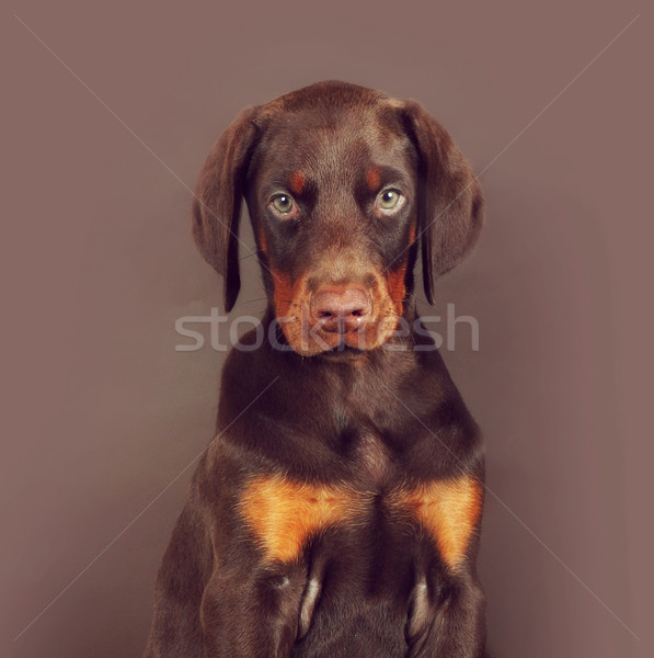 Belle brun doberman chiot séance studio Photo stock © goroshnikova
