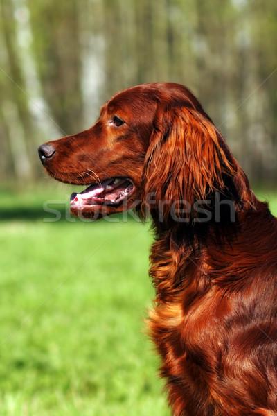 Stock photo: Beautiful dog Irish setter