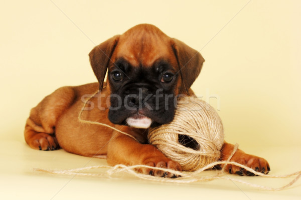 Beautiful red boxer puppy playing with a ball of yarn Stock photo © goroshnikova