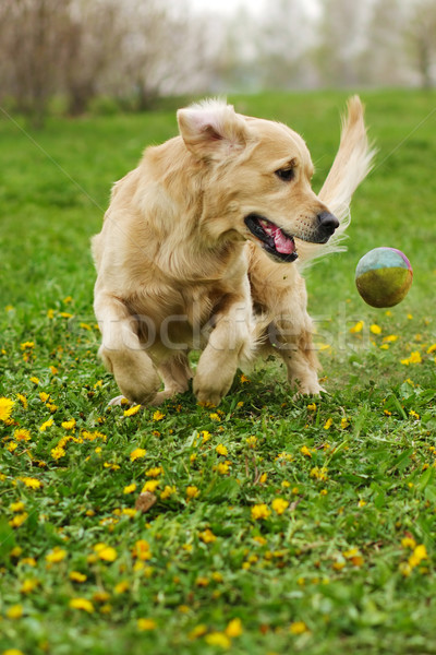 Golden Retriever plays Stock photo © goroshnikova