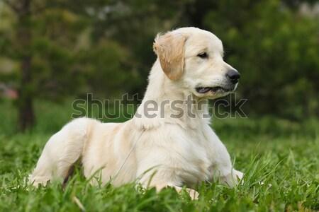 Giovani felice cane golden retriever gioia Foto d'archivio © goroshnikova