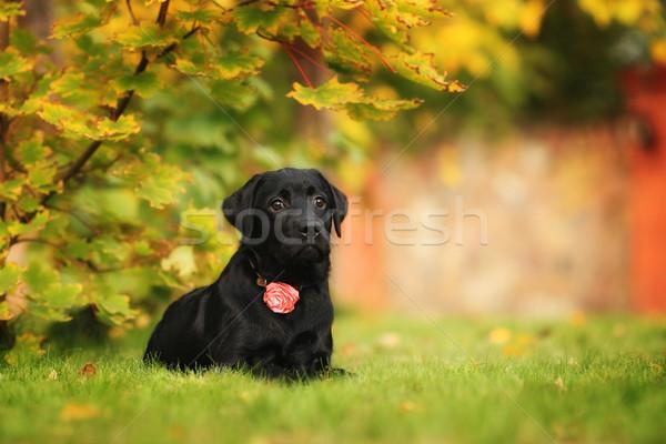 Belo pequeno preto cachorro labrador retriever jardim Foto stock © goroshnikova