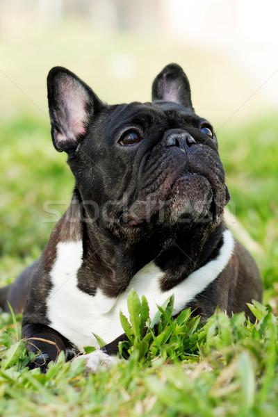 Köpek fransız buldok yaz eski Stok fotoğraf © goroshnikova