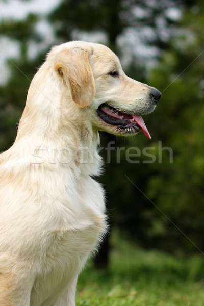 The puppy Golden Retriever Stock photo © goroshnikova
