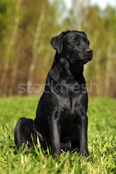 Serious black Labrador sitting on the grass Stock photo © goroshnikova