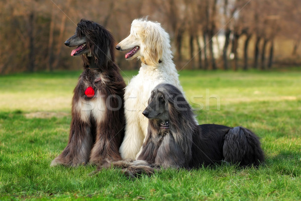 three dogs breed Afghan Hound Stock photo © goroshnikova