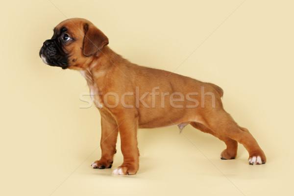 Purebred red boxer puppy standing in the show position Stock photo © goroshnikova