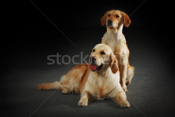 2 犬 母親 子犬 髪 ストックフォト © goroshnikova