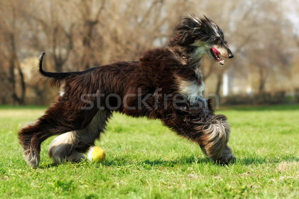 Afghan hound dog running with the ball Stock photo © goroshnikova