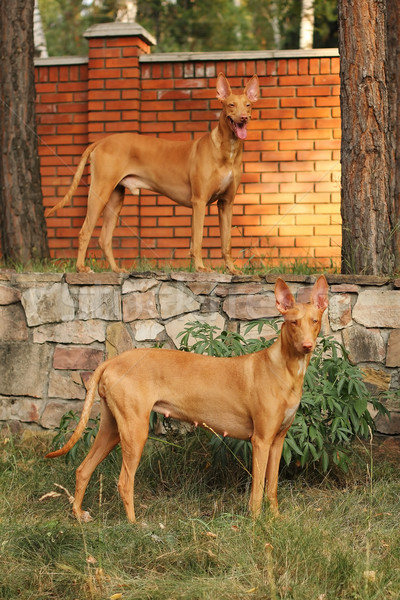 two dogs of breed Pharaoh hound Stock photo © goroshnikova
