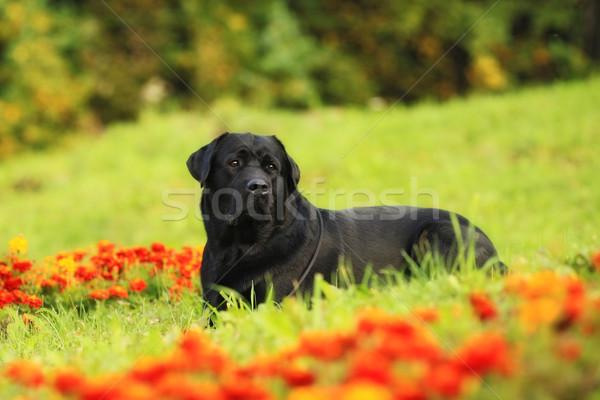 Nero cane labrador retriever fiore Foto d'archivio © goroshnikova