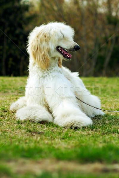 собака гончая красивой олененок трава зеленый Сток-фото © goroshnikova