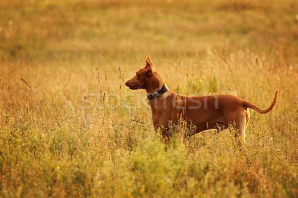 Dog breed the Pharaoh hound stands in a field Stock photo © goroshnikova