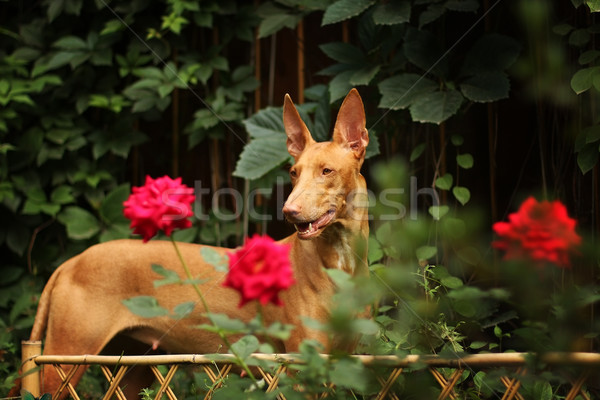 Pharaoh hound among the flowers Stock photo © goroshnikova
