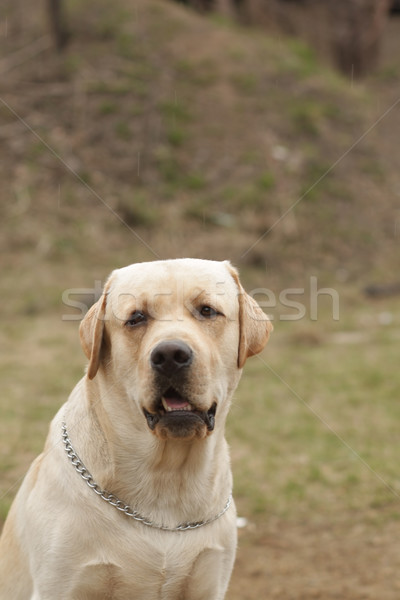 fawn dog Labrador Retriever stares Stock photo © goroshnikova