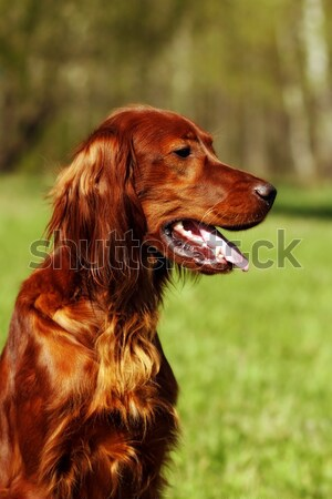 Stock photo: beautiful dog Irish setter
