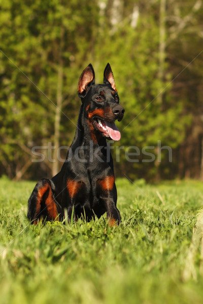 Beautiful dog Doberman ready to work Stock photo © goroshnikova