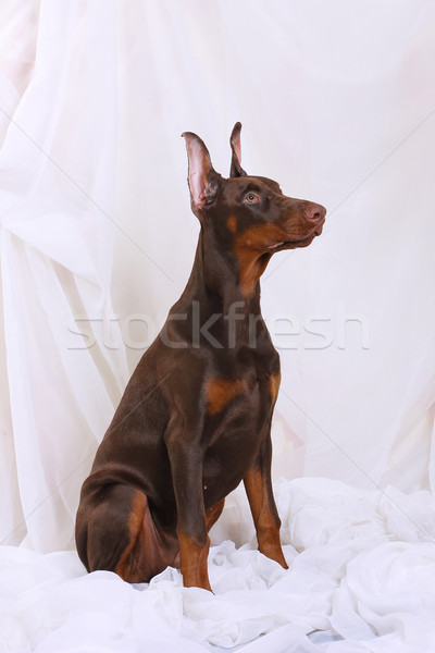 Brown Doberman sitting Stock photo © goroshnikova
