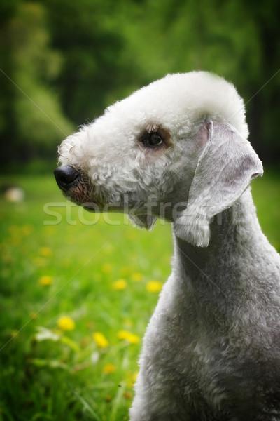 Perro terrier verano parque primer plano retrato Foto stock © goroshnikova