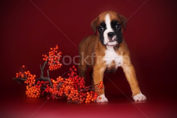 cute puppy boxer stands with a sprig of autumn berries Stock photo © goroshnikova