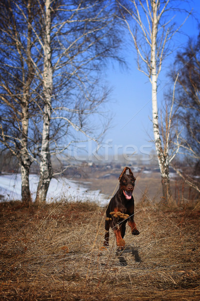brown dog breed Doberman runs Stock photo © goroshnikova