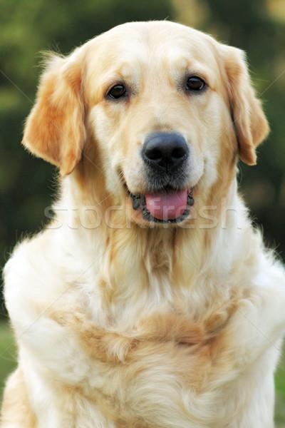 Stok fotoğraf: Güzel · mutlu · köpek · golden · retriever · yaz · açık · havada