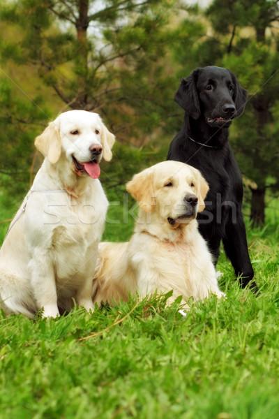 Grupo três cães retriever dois dourado Foto stock © goroshnikova